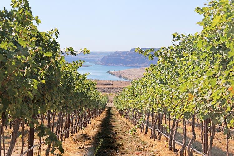 Estate vineyards overlooking the Columbia Gorge