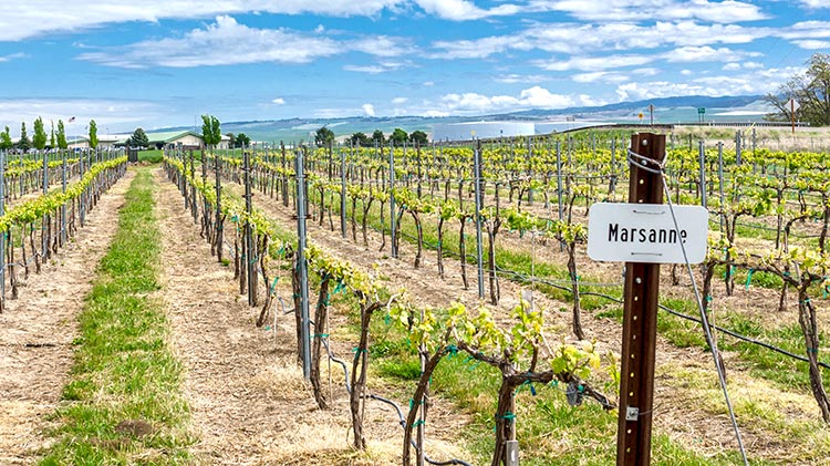 Marsanne is one of 14 varietals grown at the teaching winery's estate vineyards