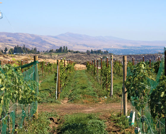 Wilridge Vineyard in Naches Heights AVA