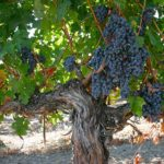 Old Vines: Where Roots & Passions Run Deep