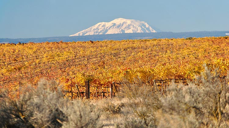 Red Willow Vineyard turns the many golden shades of fall with Mount Adams looming large on the horizon