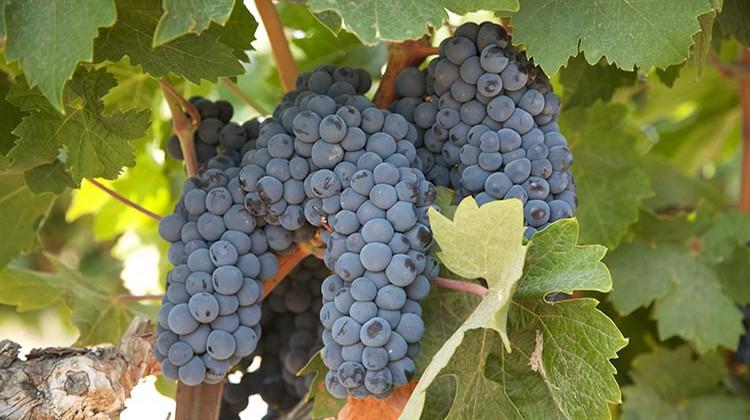StoneTree Vineyard: Of Vines & Fossils