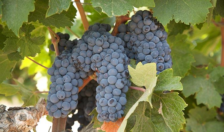 Primitivo grapes from Block 5A at StoneTree Vineyard.