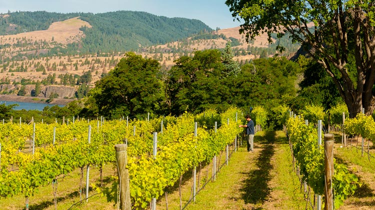 Mantone's three-acre Nelson Vineyard of Syrah is nestled on the banks of the Columbia River, a vineyard location that he claims is unlike any other in the state due to the wind and water factors