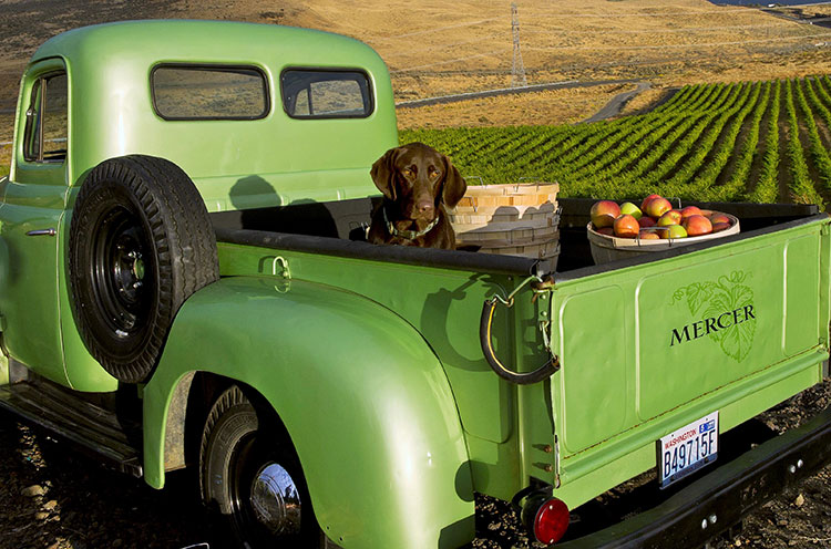 Winery dog Chelsea of Mercer Estates Winery riding shotgun in the vineyards
