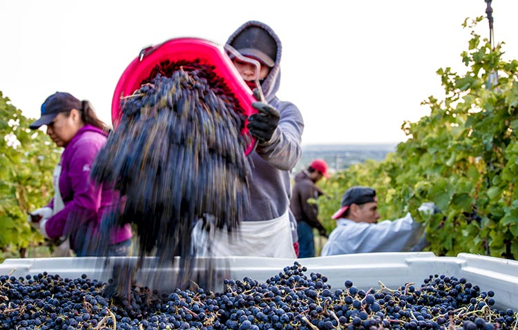 Harvest crew picking fruit during the 2015 season at L'Ecole Nº 41's Estate Ferguson Vineyard in the Walla Walla Valley AVA. Photo by Sander Olson.